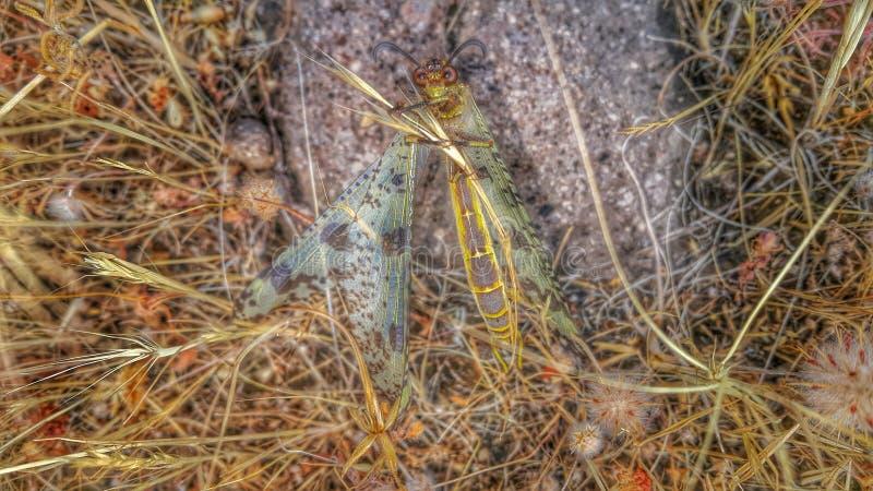 Πεταλούδα Eyecontact στοκ φωτογραφίες με δικαίωμα ελεύθερης χρήσης