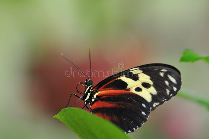 Πεταλούδα Mechanitis στο πράσινο φύλλο στοκ φωτογραφία με δικαίωμα ελεύθερης χρήσης
