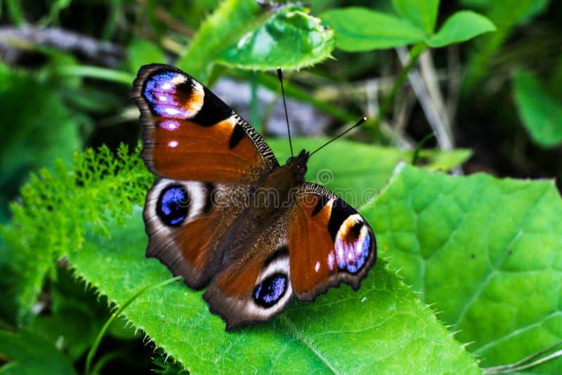 Πεταλούδα Peacock σε ένα φύλλο στοκ εικόνα με δικαίωμα ελεύθερης χρήσης