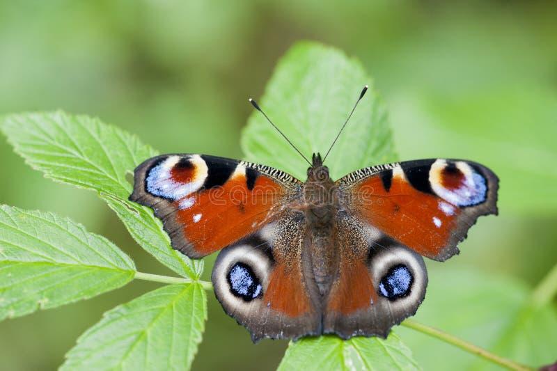 Πεταλούδα Peacock στοκ εικόνα