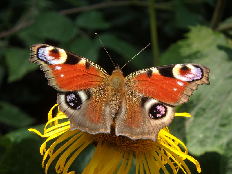 Πεταλούδα Peacock στοκ φωτογραφία με δικαίωμα ελεύθερης χρήσης