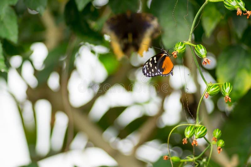 Πεταλούδα Swallowtail εσπεριδοειδών στοκ εικόνες
