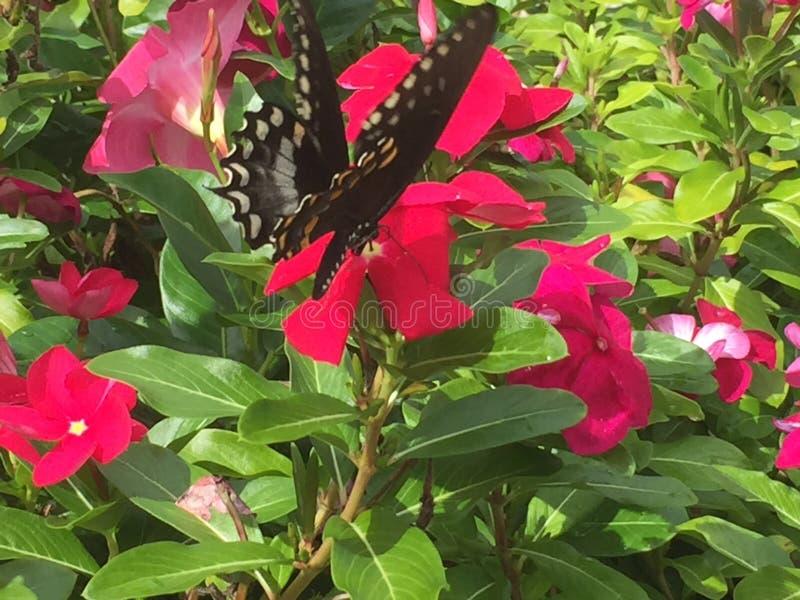 Πεταλούδα Swallowtail στα καυτά ρόδινα λουλούδια στοκ φωτογραφία με δικαίωμα ελεύθερης χρήσης
