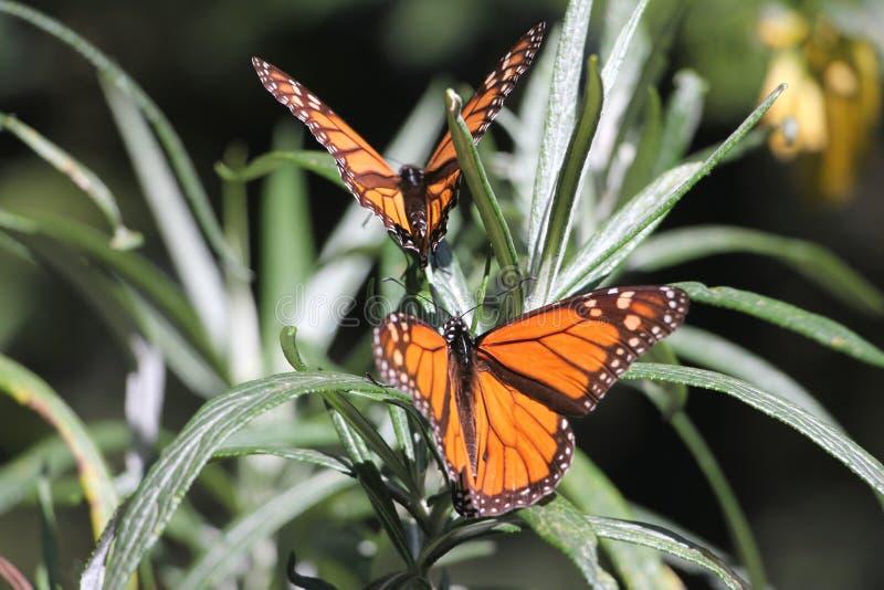 Πεταλούδες μοναρχών στοκ εικόνα με δικαίωμα ελεύθερης χρήσης
