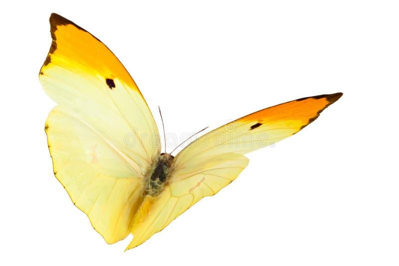 Πεταλούδες (Anteos Menippe) στοκ φωτογραφία με δικαίωμα ελεύθερης χρήσης