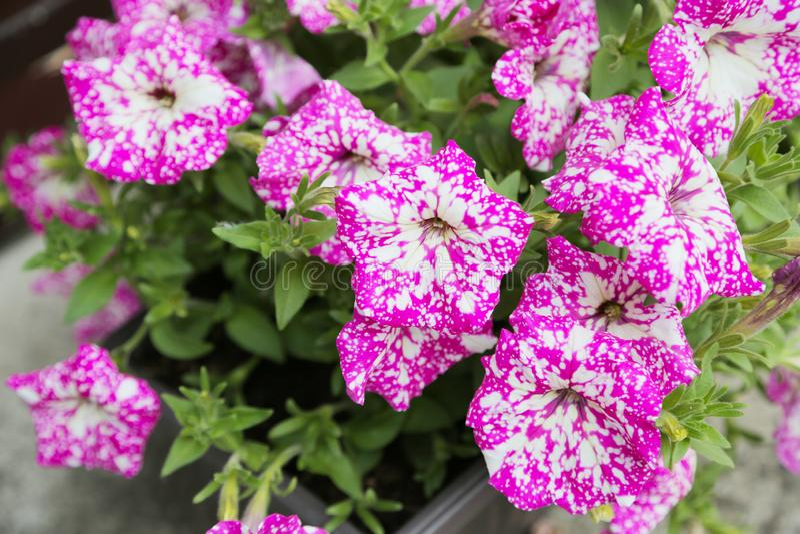 Πετούνια, ζωηρόχρωμο hybrida πετουνιών λουλουδιών πετουνιών Σύσταση υποβάθρου πετουνιών λουλουδιών, σχέδιο στοκ φωτογραφία με δικαίωμα ελεύθερης χρήσης