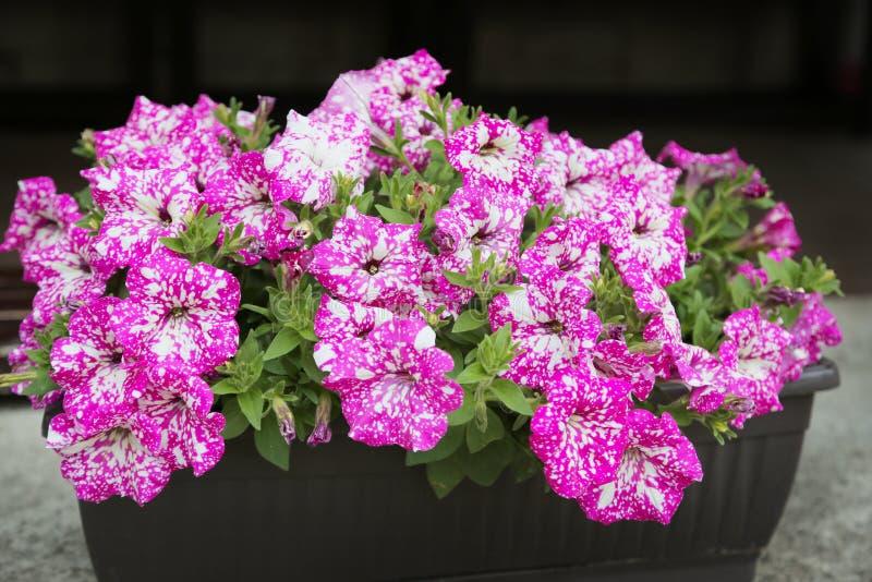Πετούνια, ζωηρόχρωμο hybrida πετουνιών λουλουδιών πετουνιών Σύσταση υποβάθρου πετουνιών λουλουδιών, σχέδιο στοκ φωτογραφία