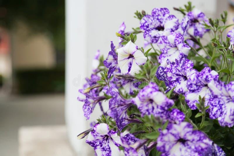 Πετούνια, ζωηρόχρωμο hybrida πετουνιών λουλουδιών πετουνιών Σύσταση υποβάθρου πετουνιών λουλουδιών, σχέδιο στοκ εικόνες