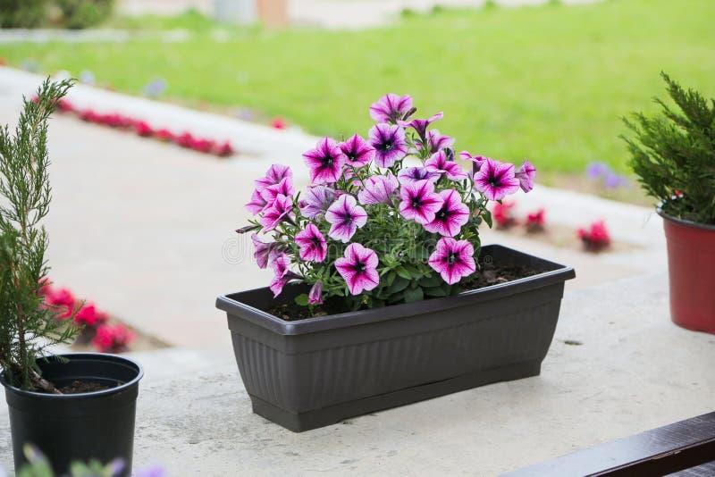 Πετούνια, ζωηρόχρωμο hybrida πετουνιών λουλουδιών πετουνιών Σύσταση υποβάθρου πετουνιών λουλουδιών, σχέδιο στοκ φωτογραφίες με δικαίωμα ελεύθερης χρήσης