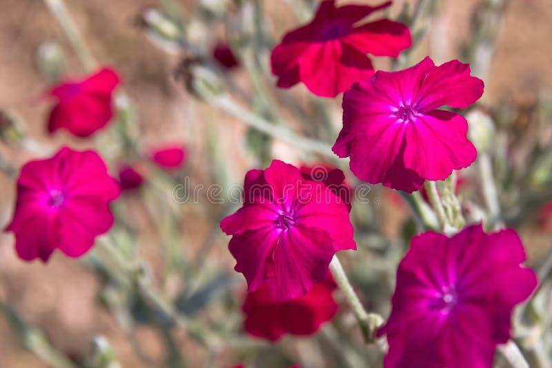 πετούνια λουλουδιών στοκ εικόνα