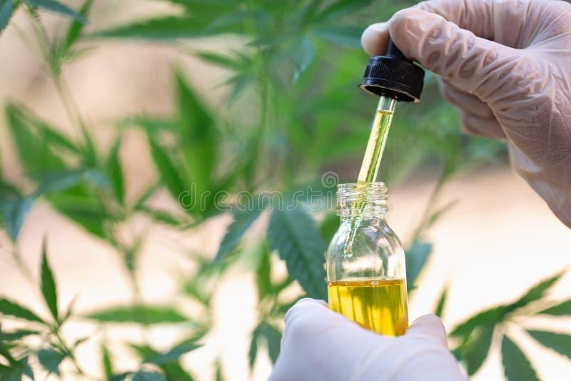 Πετρέλαιο καννάβεων στο φύλλο κάνναβης χεριών του γιατρού, ιατρική ιατρική μαριχουάνα στοκ εικόνες
