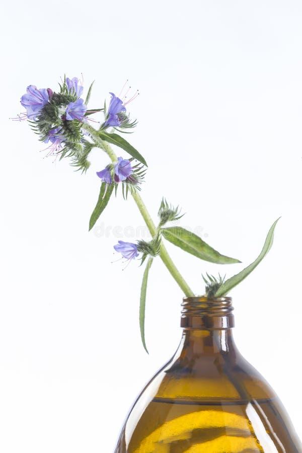 Πετρέλαιο Borago Officinalis μποράγκων στοκ εικόνες με δικαίωμα ελεύθερης χρήσης