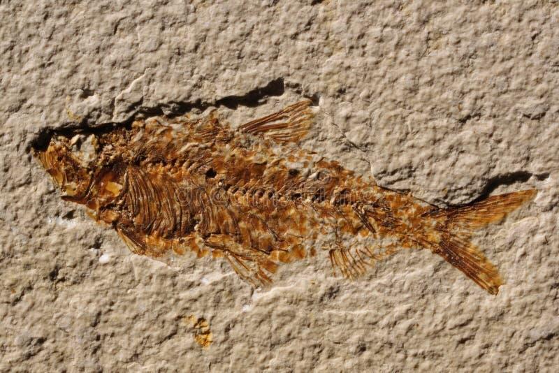 πετρωμένος ψάρια σκελετό&s στοκ εικόνες