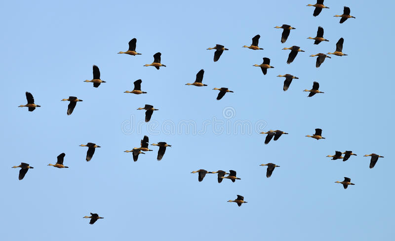 Πετώντας αγριόχηνα στοκ φωτογραφία με δικαίωμα ελεύθερης χρήσης