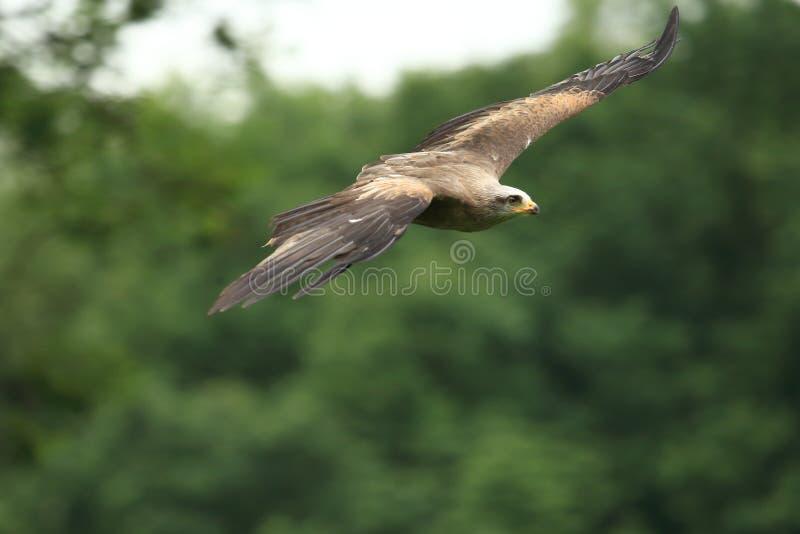 Πετώντας αετός στεπών στοκ φωτογραφίες με δικαίωμα ελεύθερης χρήσης