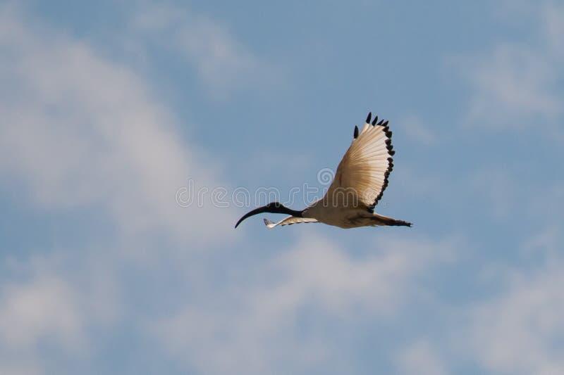 Πετώντας αιγυπτιακή θρεσκιόρνιθα στοκ εικόνα με δικαίωμα ελεύθερης χρήσης