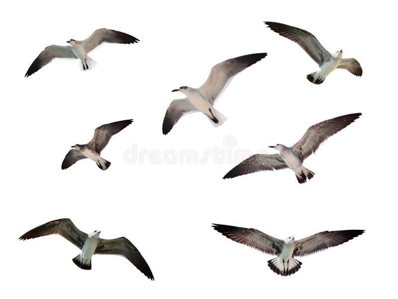 πετώντας απομονωμένα seagulls στοκ εικόνες