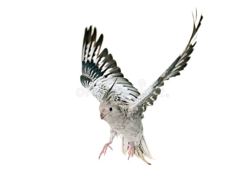 Πετώντας γκρίζο cockatiel στοκ φωτογραφία