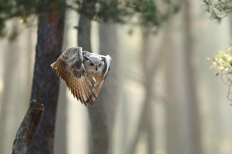 Πετώντας ευρασιατικός μπούφος με τα ανοικτά φτερά στη δασική άγρια φύση Ευρώπη φθινοπώρου στοκ φωτογραφία με δικαίωμα ελεύθερης χρήσης