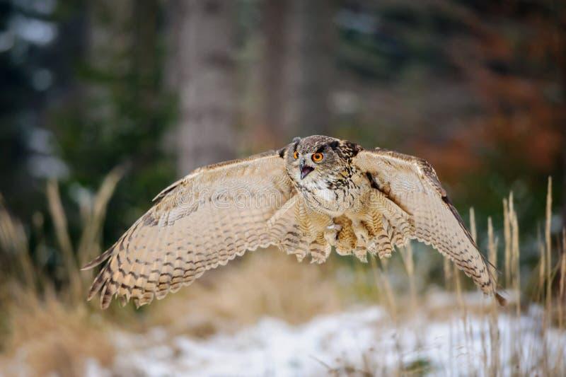 Πετώντας ευρασιατικός μπούφος στο χειμερινό δάσος colorfull στοκ εικόνα με δικαίωμα ελεύθερης χρήσης