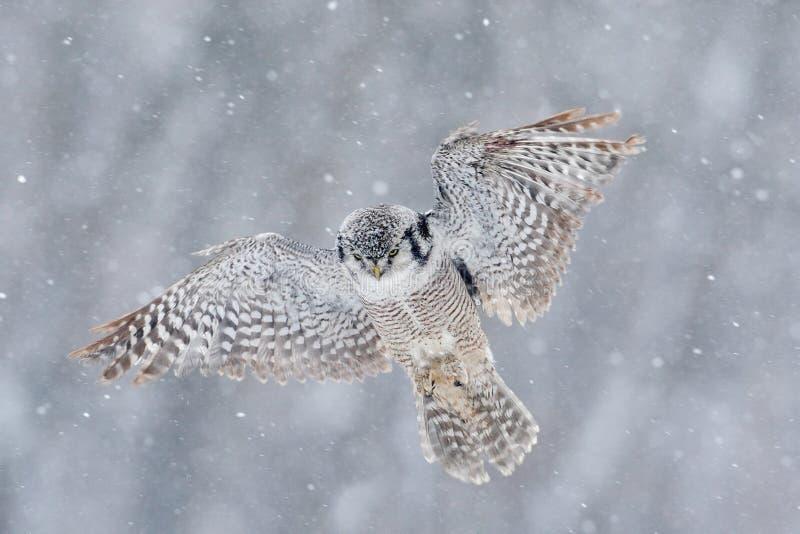 Πετώντας κουκουβάγια γερακιών με τη νιφάδα χιονιού κατά τη διάρκεια του κρύου χειμώνα στοκ φωτογραφίες με δικαίωμα ελεύθερης χρήσης