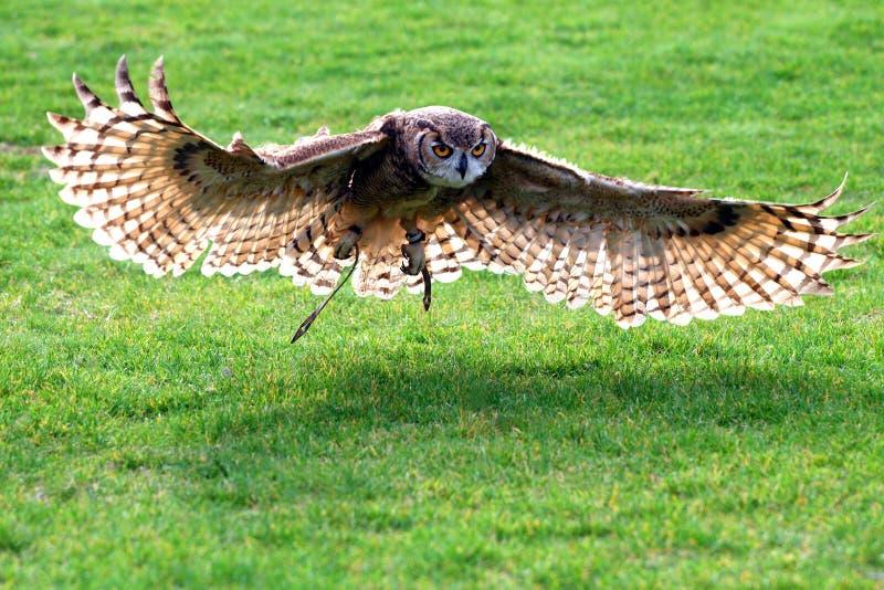 πετώντας κουκουβάγια στοκ εικόνες με δικαίωμα ελεύθερης χρήσης