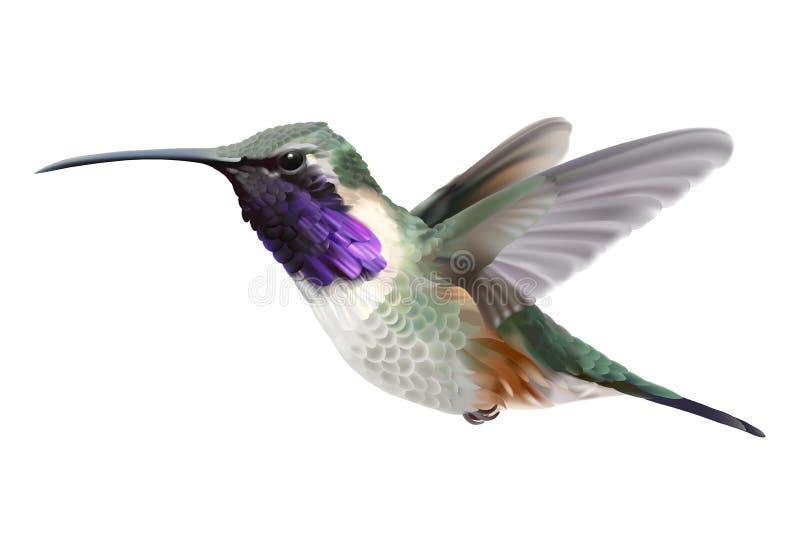 Πετώντας κολίβριο Lucifer - Calothorax lucifer ελεύθερη απεικόνιση δικαιώματος