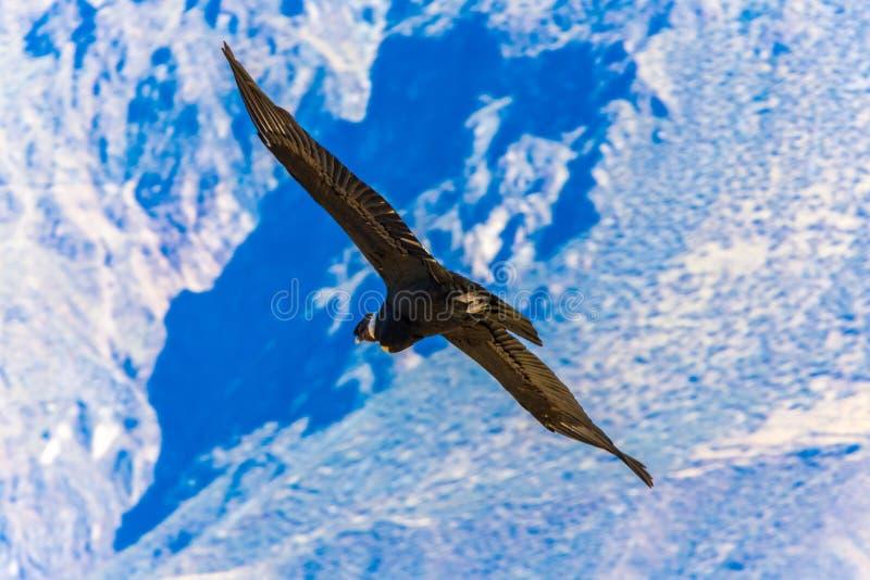 Πετώντας κόνδορας πέρα από το φαράγγι Colca, Περού, Νότια Αμερική. Αυτός ο κόνδορας το μεγαλύτερο πετώντας πουλί στοκ εικόνα με δικαίωμα ελεύθερης χρήσης
