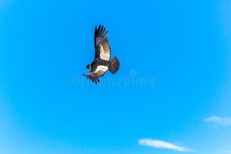 Πετώντας κόνδορας πέρα από το φαράγγι Colca, Περού, Νότια Αμερική. Αυτός ο κόνδορας το μεγαλύτερο πετώντας πουλί στοκ εικόνες