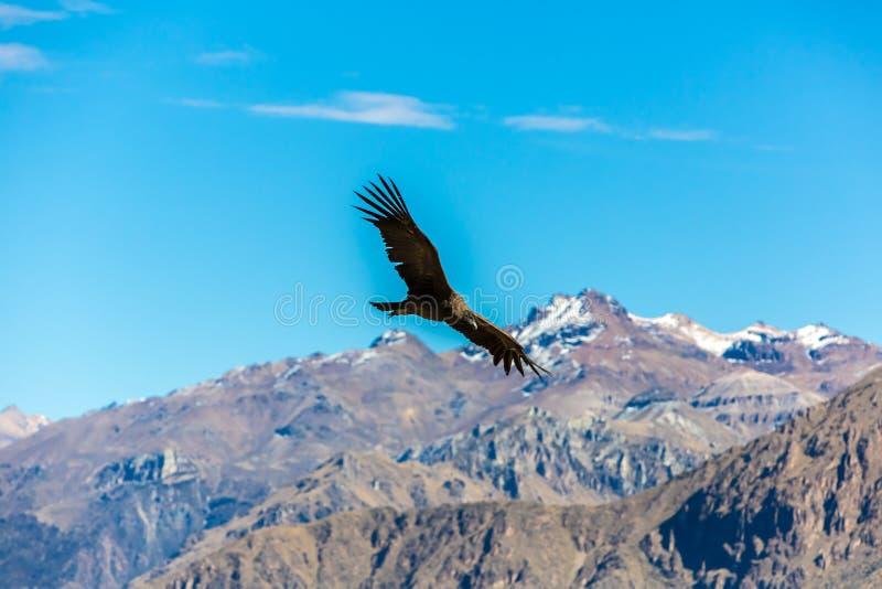Πετώντας κόνδορας πέρα από το φαράγγι Colca, Περού, Νότια Αμερική. Αυτός ο κόνδορας το μεγαλύτερο πετώντας πουλί στοκ φωτογραφίες με δικαίωμα ελεύθερης χρήσης