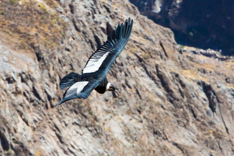 Πετώντας κόνδορας πέρα από το φαράγγι Colca, Περού, Νότια Αμερική. Αυτός ο κόνδορας το μεγαλύτερο πετώντας πουλί στοκ εικόνες με δικαίωμα ελεύθερης χρήσης