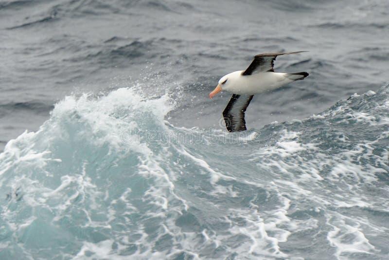πετώντας κύματα άλμπατρος στοκ φωτογραφίες με δικαίωμα ελεύθερης χρήσης