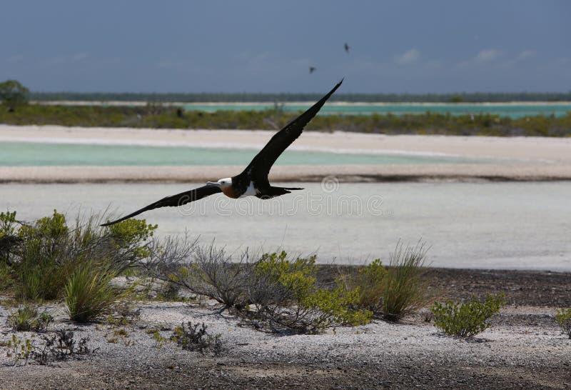 Πετώντας νέο πουλί φρεγάτων στοκ εικόνες