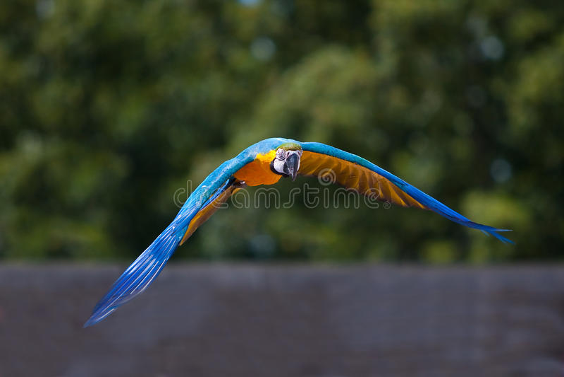 πετώντας παπαγάλος στοκ εικόνες με δικαίωμα ελεύθερης χρήσης