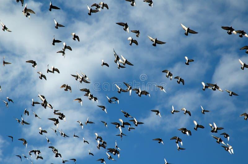 πετώντας περιστέρια κοπαδιών στοκ εικόνες με δικαίωμα ελεύθερης χρήσης