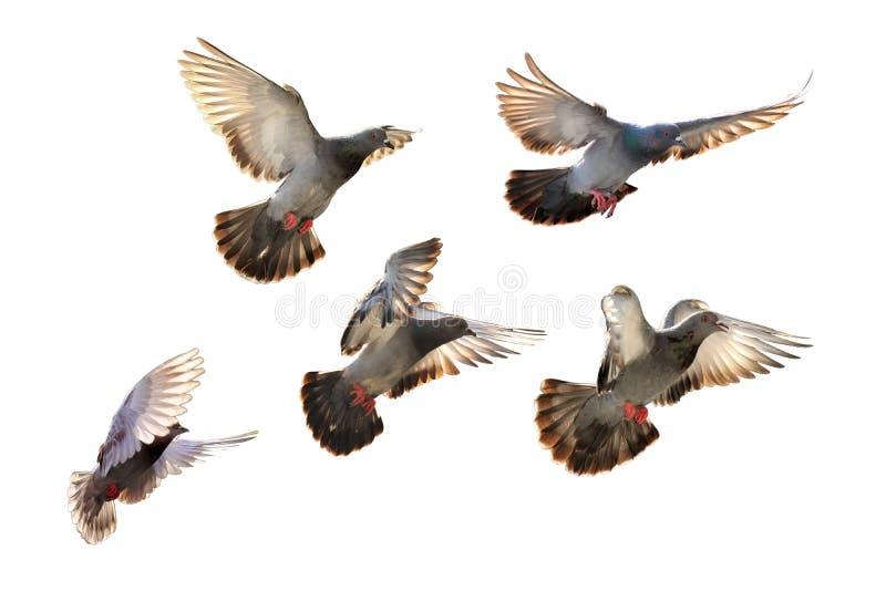 Πετώντας περιστέρι που απομονώνεται στο μαύρο υπόβαθρο στοκ εικόνες με δικαίωμα ελεύθερης χρήσης
