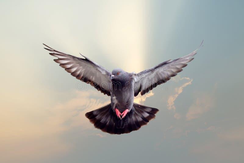 Πετώντας περιστέρι στοκ φωτογραφία