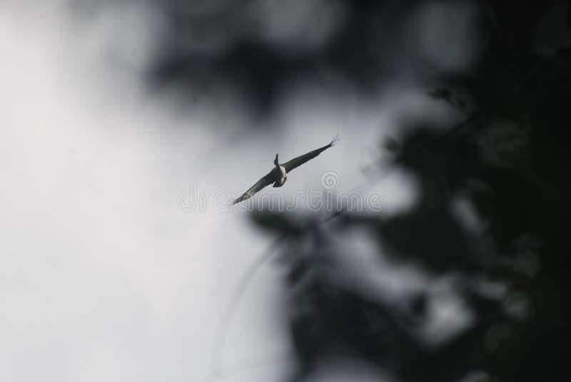Πετώντας πελεκάνος στοκ φωτογραφία