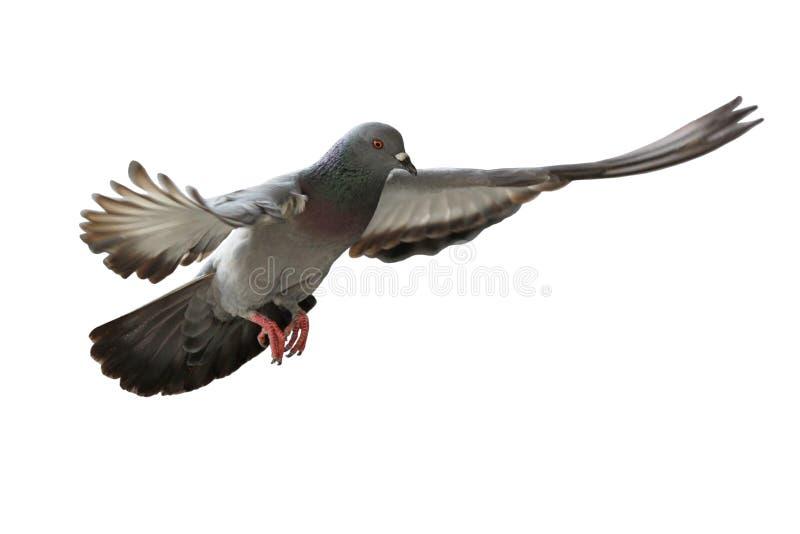 Πετώντας πουλί περιστεριών στοκ εικόνα με δικαίωμα ελεύθερης χρήσης