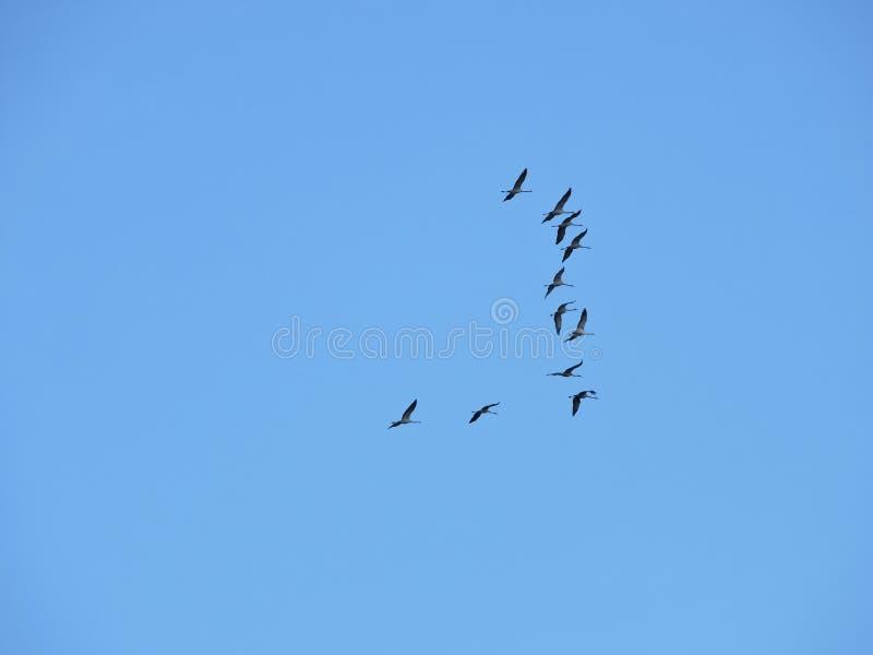 Πετώντας πουλιά γερανών στοκ εικόνες