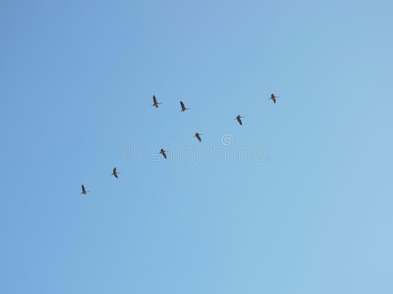 Πετώντας πουλιά γερανών στοκ εικόνα με δικαίωμα ελεύθερης χρήσης