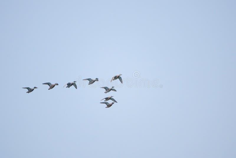 Πετώντας πρασινολαίμες στοκ εικόνα