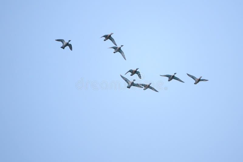 Πετώντας πρασινολαίμες στοκ φωτογραφία με δικαίωμα ελεύθερης χρήσης