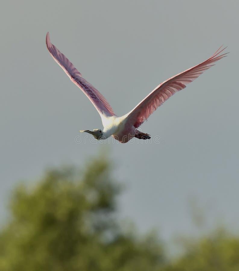 Πετώντας ρόδινη πλαταλέα (ajaja Platalea) στοκ εικόνα με δικαίωμα ελεύθερης χρήσης