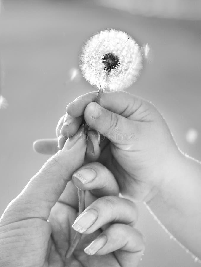 Πετώντας σπόρος χτυπήματος χεριών πικραλίδων λαβής παιδιών Mum στοκ φωτογραφίες