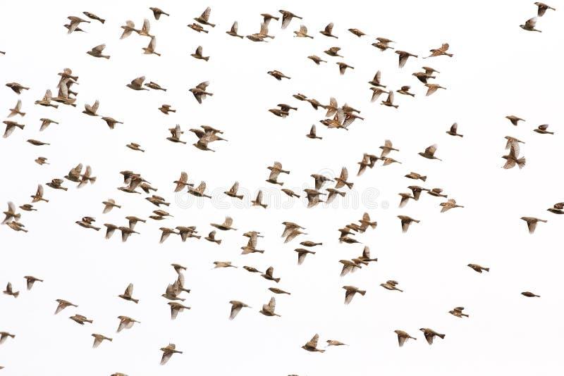 Πετώντας υπόβαθρο σπουργιτιών σπιτιών στοκ φωτογραφία με δικαίωμα ελεύθερης χρήσης