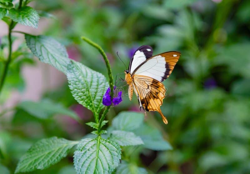 Πετώντας χαρτομάνδηλο ή αφρικανική πεταλούδα swallowtail που σκαρφαλώνει σε έναν θάμνο στοκ εικόνες με δικαίωμα ελεύθερης χρήσης