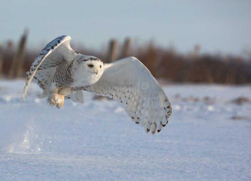 Πετώντας χιονόγλαυκα στοκ εικόνα με δικαίωμα ελεύθερης χρήσης