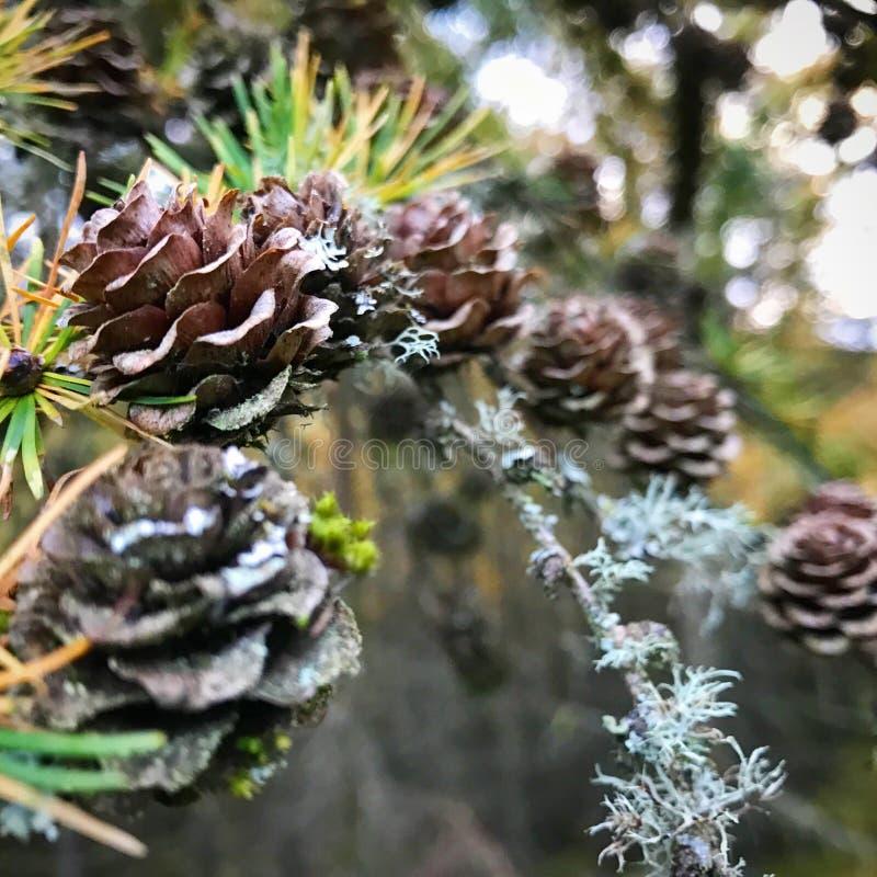Πεύκα στο δάσος στοκ φωτογραφία με δικαίωμα ελεύθερης χρήσης