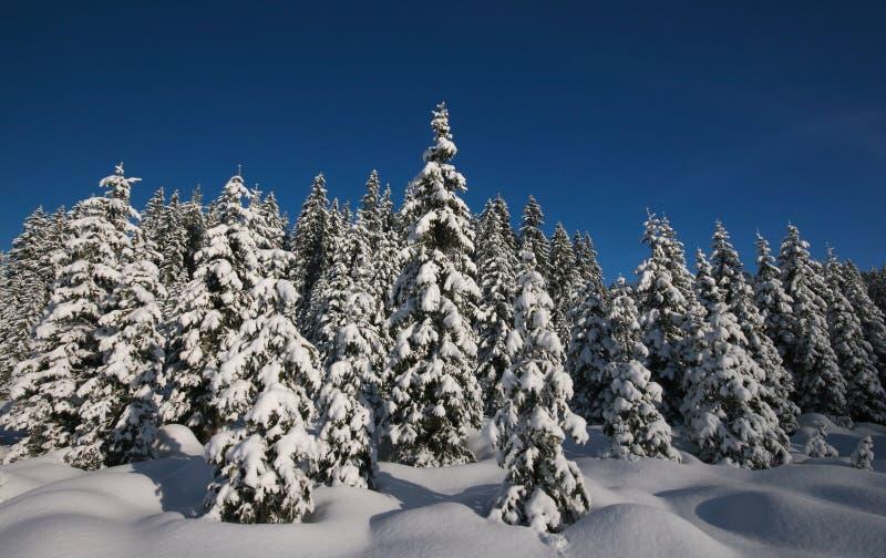 πεύκα χιονώδη στοκ φωτογραφία με δικαίωμα ελεύθερης χρήσης